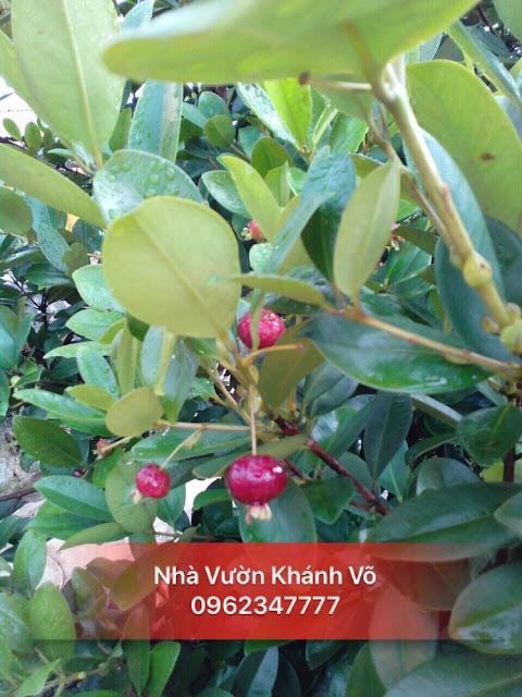 Cherry Brazil là sự lựa chọn mới cho người thích trồng cây