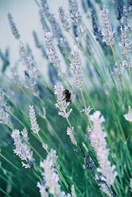 Bee on lavender Hammersmith London by Frederica Patmore