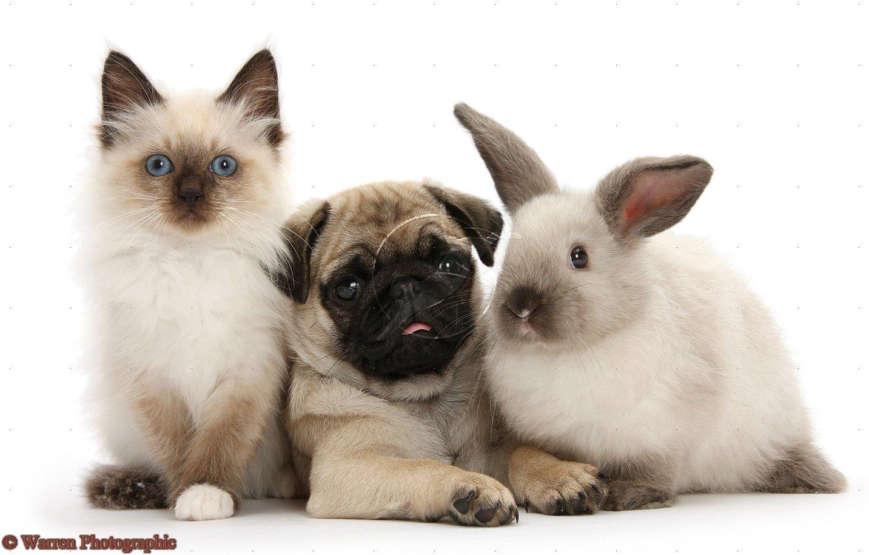 Cute Puppy Dogs: Cute Pug Puppies