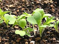 水菜の新芽