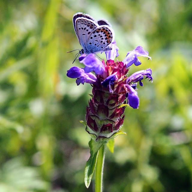 諏訪白樺湖小海線 霧ヶ峰高原 高山植物 蝶