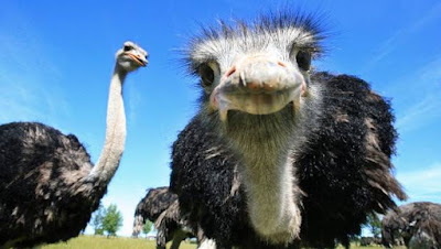 Five Ostrich Facts You Need To Know