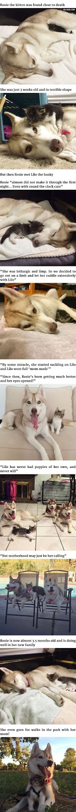 Lilo the Husky adopts Rosie the Kitten as her own and nurses her back to a healthy life. #adorable #animals #husky #kitten #emotions #feelings #story #true