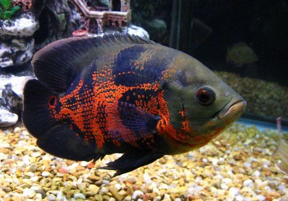 Ikan Oscar Tercantik