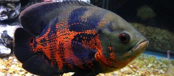 Ikan Oscar Tercantik? Lihat Berikut Ini