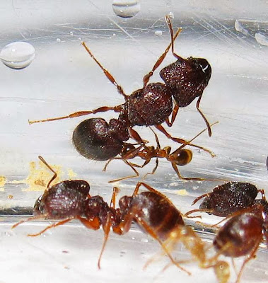 The queen with major and minor workers and brood of a rare trimorphic species of Pheidole ant