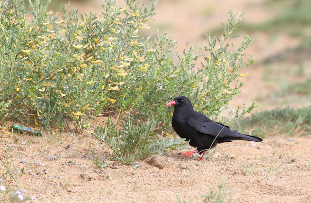 Red Billed Chough
