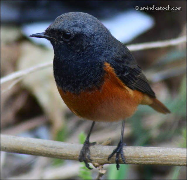 Black Redstart, Closeup,