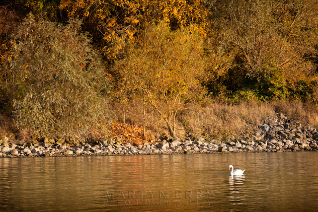 Autumn trees line the banks at Grafham Water behind a white swan