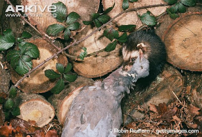 Mustela putorius eat Columba palumbus