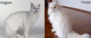 harga kucing anggora dan persia,cara merawat kucing persia,makanan kucing anggora,perbedaan medium,anggora dan persia,
