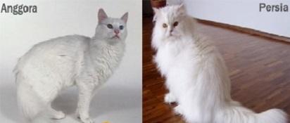 Perbedaan Kucing Anggora dan Persia dari Beberapa Sisi
