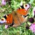Suomen perhoset levittäytymässä pohjoisemmaksi ilmaston muuttuessa
