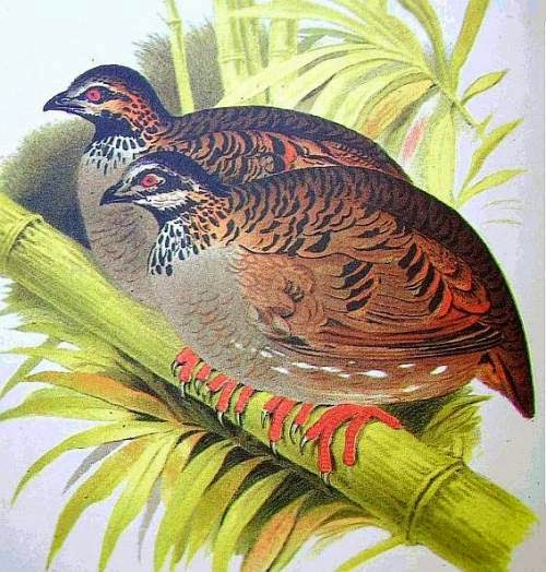 Indian bird - White-cheeked partridge - Arborophila atrogularis