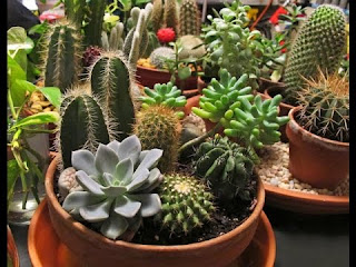 bonsai cactus for sale, succulent bonsai plants, succulent bonsai pictures, buy saguaro cactus online, best succulent bonsai, saguaro cactus bonsai, mini cactus, jade bonsai