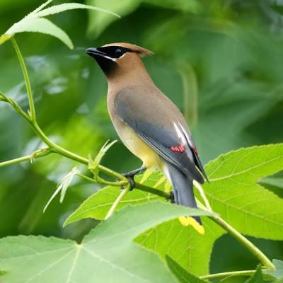 World Beautiful Birds Cedar Waxwing Birds Information