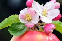 μηλιά - apple