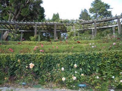 roses, berkeley