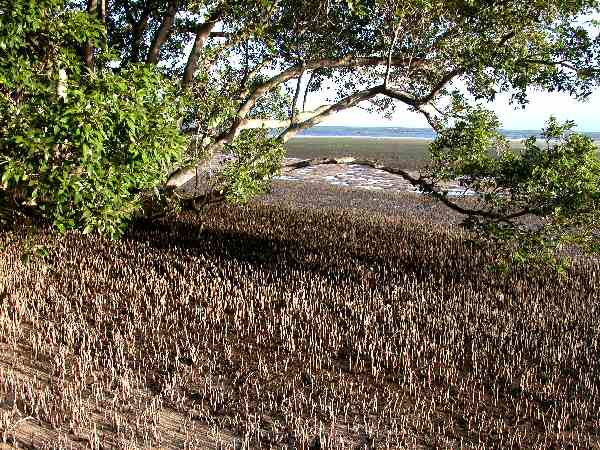 Mangroves are dying out