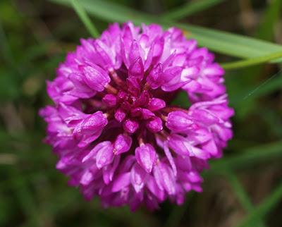 Flores de color rosa de Trifolium pratense