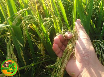 Tanaman padi usia 12 minggu, tanaman padi sudah enguning