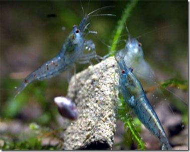 Cách nuôi Blue Pearl Shrimp - Tép cảnh màu xanh