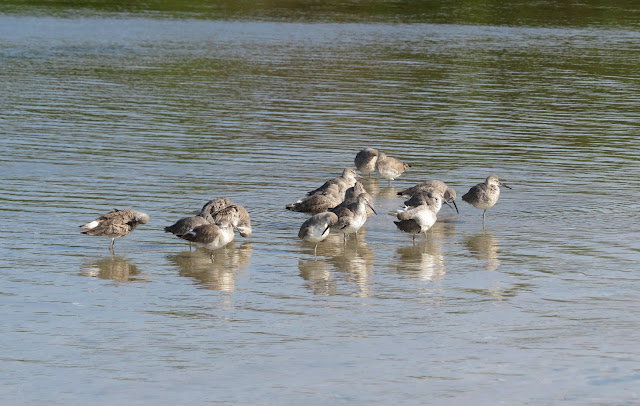 Willets - Bunche Beach, Florida