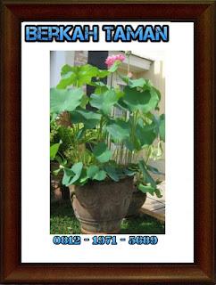 POHON LOTUS ( Binomial Nelumbium Speciosum ) - Tanaman air