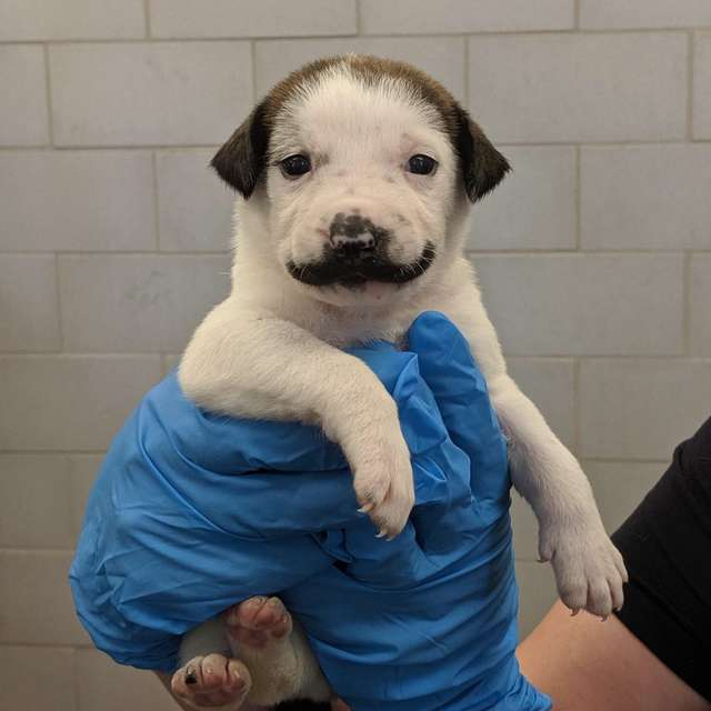 Adorable Pictures Of Shelter Puppy Born With A Handlebar Mustache