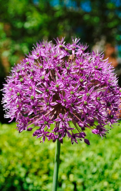 purple allium chicago