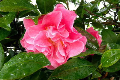 Pink Camellia in the Rain - Santa Monica, CA Flower photography by Mademoiselle Mermaid