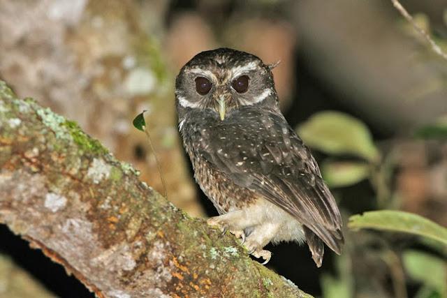 Merupakan spesies burung hantu berbadan kecil dengan panjang tubuh cukup umur hanya sekitar  Mengenal Burung Pungguk Tutul