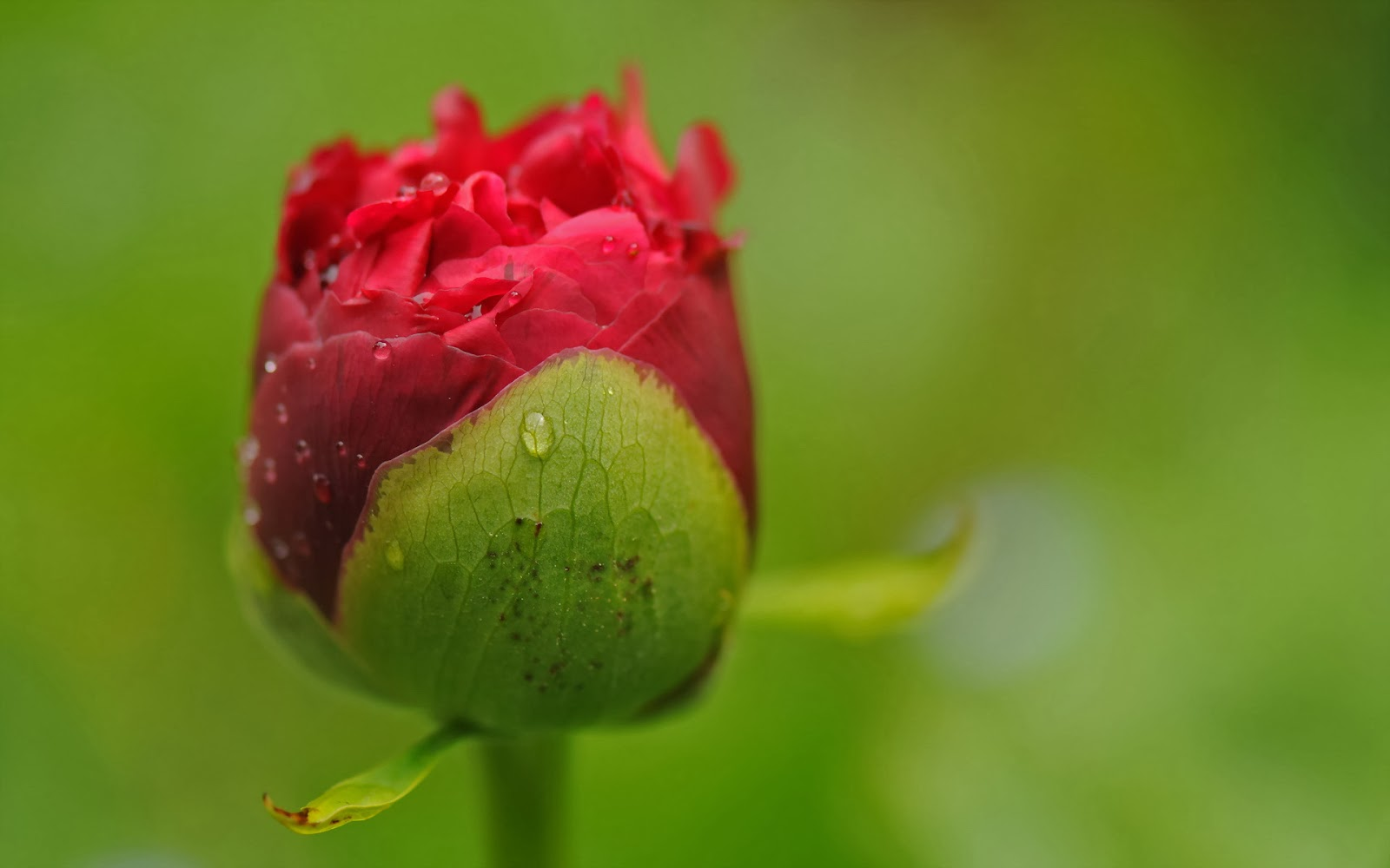 Single-Rose-HD-art-Photography-stock-image-close-up-shot-free-downoad.jpg