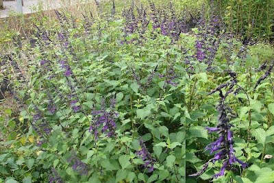 Salvia azul Salvia guaranitica