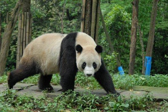 Free Race Car Wallpapers Animals Wallpapers Giant Panda Cool Facts Panda Kids