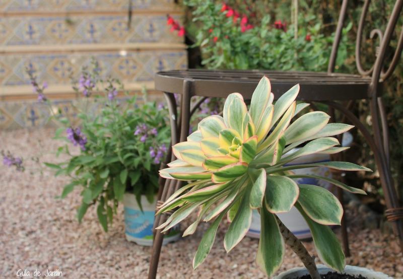 Aeonium arboreum variegado