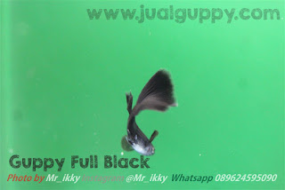 Jual Full Black Guppy,  Harga Full Black Guppy,  Toko Full Black Guppy,  Diskon Full Black Guppy,  Beli Full Black Guppy,  Review Full Black Guppy,  Promo Full Black Guppy,  Spesifikasi Full Black Guppy,  Full Black Guppy Murah,  Full Black Guppy Asli,  Full Black Guppy Original,  Full Black Guppy Jakarta,  Jenis Full Black Guppy,  Budidaya Full Black Guppy,  Peternak Full Black Guppy,  Cara Merawat Full Black Guppy,  Tips Merawat Full Black Guppy,  Bagaimana cara merawat Full Black Guppy,  Bagaimana mengobati Full Black Guppy,  Ciri-Ciri Hamil Full Black Guppy,  Kandang Full Black Guppy,  Ternak Full Black Guppy,  Makanan Full Black Guppy,  guppy breeding Full Black Guppy,  guppies for sale Full Black Guppy,  guppy care Full Black Guppy,  breeding guppies Full Black Guppy,  male guppies Full Black Guppy,  female guppies Full Black Guppy,  guppy aquarium Full Black Guppy,  baby guppies Full Black Guppy,  poecilia reticulata Full Black Guppy,  guppy tank Full Black Guppy,  guppy fry Full Black Guppy,  guppy giving birth Full Black Guppy,  how long do guppies live Full Black Guppy,  guppys Full Black Guppy,  guppy guppy Full Black Guppy,  guppy food Full Black Guppy,  guppy breeding tank Full Black Guppy,  fantail guppy Full Black Guppy,  guppy breeds Full Black Guppy,  guppy s Full Black Guppy,  wild guppies Full Black Guppy,  guppy babies Full Black Guppy,  guppy varieties Full Black Guppy,  freshwater guppies Full Black Guppy,  guppy female Full Black Guppy,  tropical guppies Full Black Guppy,  female guppies for sale Full Black Guppy,  guppy price Full Black Guppy,  raising guppies Full Black Guppy,  guppies for sale online Full Black Guppy,  guppy info Full Black Guppy,  buy guppies online Full Black Guppy,  guppy sale Full Black Guppy,  buy guppies Full Black Guppy,  guppy diseases Full Black Guppy,  guppies online Full Black Guppy,  caring for guppies Full Black Guppy,  best food for guppies Full Black Guppy,  food for guppies Full Black Guppy,  blue guppy Full Black Guppy,  guppy breeding setup Full Black Guppy,  guppy birth Full Black Guppy,  guppy species Full Black Guppy,  gestation period for guppies Full Black Guppy,  guppys online Full Black Guppy,  guppy care sheet Full Black Guppy,  guppy blue Full Black Guppy,  keeping guppies Full Black Guppy,  guppies for sale cheap Full Black Guppy,  the guppy Full Black Guppy,  guppy breeding cycle Full Black Guppy,  show guppies Full Black Guppy,  thai guppy Full Black Guppy,  male and female guppies Full Black Guppy,  what to feed baby guppies Full Black Guppy,  yellow guppy Full Black Guppy,  guppy names Full Black Guppy,  guppy gestation period Full Black Guppy,  feeding guppies Full Black Guppy,  guppy genetics Full Black Guppy,  guppy show Full Black Guppy,  turquoise guppy Full Black Guppy,  guppy fry care Full Black Guppy,  guppy games Full Black Guppy,  guppy gestation Full Black Guppy,  guppy colors Full Black Guppy,  guppy tank setup Full Black Guppy,  trinidadian guppies Full Black Guppy,  guppies having babies Full Black Guppy,  guppy strains Full Black Guppy,  what do guppies eat Full Black Guppy,  what to feed guppies Full Black Guppy,  guppy life span Full Black Guppy,  how to care for guppies Full Black Guppy,  guppy male and female Full Black Guppy,  what is a guppy Full Black Guppy,  guppy natural habitat Full Black Guppy,  german guppy Full Black Guppy,  guppy poecilia reticulata Full Black Guppy,  guppy images Full Black Guppy,  images of guppies Full Black Guppy,  fishguppy Full Black Guppy,  guppy facts Full Black Guppy,  how many babies do guppies have Full Black Guppy,  how big do guppies get Full Black Guppy,  how to take care of guppies Full Black Guppy,  fan tailed guppies Full Black Guppy,  guppy pregnant Full Black Guppy,  guppy life cycle Full Black Guppy,  temperature for guppies Full Black Guppy,  what are guppies Full Black Guppy,  guppies restaurant Full Black Guppy,  guppy definition Full Black Guppy,  guppy meaning Full Black Guppy,  guppy size Full Black Guppy,  define guppy Full Black Guppy,  guppy wiki Full Black Guppy,  how do guppies give birth Full Black Guppy,  baby guppys Full Black Guppy,  guppies bar Full Black Guppy,  how many fry do guppies have Full Black Guppy,  guppy behavior Full Black Guppy,  how many babies does a guppy have Full Black Guppy,  where do guppies come from Full Black Guppy,  how do guppies reproduce Full Black Guppy,  what does guppy mean Full Black Guppy,  what is guppy Full Black Guppy,  types of guppy Full Black Guppy,  guppy guppies Full Black Guppy,  guppy house hours Full Black Guppy,  guppys on the go Full Black Guppy,  guppys restaurant Full Black Guppy,  guppies definition Full Black Guppy,  do guppies eat their babies Full Black Guppy,  gestation guppy Full Black Guppy,  bubble guppies Full Black Guppy,  guppy Full Black Guppy,  Full Black Guppy Jakarta,  Full Black Guppy Bandung,  Full Black Guppy Medan,  Full Black Guppy Bali,  Full Black Guppy Makassar,  Full Black Guppy Jambi,  Full Black Guppy Pekanbaru,  Full Black Guppy Palembang,  Full Black Guppy Sumatera,  Full Black Guppy Langsa,  Full Black Guppy Lhokseumawe,  Full Black Guppy Meulaboh,  Full Black Guppy Sabang,  Full Black Guppy Subulussalam,  Full Black Guppy Denpasar,  Full Black Guppy Pangkalpinang,  Full Black Guppy Cilegon,  Full Black Guppy Serang,  Full Black Guppy Tangerang Selatan,  Full Black Guppy Tangerang,  Full Black Guppy Bengkulu,  Full Black Guppy Gorontalo,  Full Black Guppy Kota Administrasi Jakarta Barat,  Full Black Guppy Kota Administrasi Jakarta Pusat,  Full Black Guppy Kota Administrasi Jakarta Selatan,  Full Black Guppy Kota Administrasi Jakarta Timur,  Full Black Guppy Kota Administrasi Jakarta Utara,  Full Black Guppy Sungai Penuh,  Full Black Guppy Jambi,  Full Black Guppy Bandung,  Full Black Guppy Bekasi,  Full Black Guppy Bogor,  Full Black Guppy Cimahi,  Full Black Guppy Cirebon,  Full Black Guppy Depok,  Full Black Guppy Sukabumi,  Full Black Guppy Tasikmalaya,  Full Black Guppy Banjar,  Full Black Guppy Magelang,  Full Black Guppy Pekalongan,  Full Black Guppy Purwokerto,  Full Black Guppy Salatiga,  Full Black Guppy Semarang,  Full Black Guppy Surakarta,  Full Black Guppy Tegal,  Full Black Guppy Batu,  Full Black Guppy Blitar,  Full Black Guppy Kediri,  Full Black Guppy Madiun,  Full Black Guppy Malang,  Full Black Guppy Mojokerto,  Full Black Guppy Pasuruan,  Full Black Guppy Probolinggo,  Full Black Guppy Surabaya,  Full Black Guppy Pontianak,  Full Black Guppy Singkawang,  Full Black Guppy Banjarbaru,  Full Black Guppy Banjarmasin,  Full Black Guppy Palangkaraya,  Full Black Guppy Balikpapan,  Full Black Guppy Bontang,  Full Black Guppy Samarinda,  Full Black Guppy Tarakan,  Full Black Guppy Batam,  Full Black Guppy Tanjungpinang,  Full Black Guppy Bandar Lampung,  Full Black Guppy Kotabumi,  Full Black Guppy Liwa,  Full Black Guppy Metro,  Full Black Guppy Ternate,  Full Black Guppy Tidore Kepulauan,  Full Black Guppy Ambon,  Full Black Guppy Tual,  Full Black Guppy Bima,  Full Black Guppy Mataram,  Full Black Guppy Kupang,  Full Black Guppy Sorong,  Full Black Guppy Jayapura,  Full Black Guppy Dumai,  Full Black Guppy Pekanbaru,  Full Black Guppy Makassar,  Full Black Guppy Palopo,  Full Black Guppy Parepare,  Full Black Guppy Palu,  Full Black Guppy Bau-Bau,  Full Black Guppy Kendari,  Full Black Guppy Bitung,  Full Black Guppy Kotamobagu,  Full Black Guppy Manado,  Full Black Guppy Tomohon,  Full Black Guppy Bukittinggi,  Full Black Guppy Padang,  Full Black Guppy Padangpanjang,  Full Black Guppy Pariaman,  Full Black Guppy Payakumbuh,  Full Black Guppy Sawahlunto,  Full Black Guppy Solok,  Full Black Guppy Lubuklinggau,  Full Black Guppy Pagaralam,  Full Black Guppy Palembang,  Full Black Guppy Prabumulih,  Full Black Guppy Binjai,  Full Black Guppy Medan,  Full Black Guppy Padang Sidempuan,  Full Black Guppy Pematangsiantar,  Full Black Guppy Sibolga,  Full Black Guppy Tanjungbalai,  Full Black Guppy Tebingtinggi,  Full Black Guppy Yogyakarta,