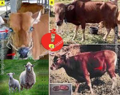 Penyakit Mematikan pada sapi dan domba