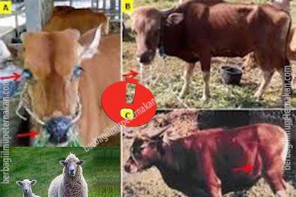 Penyakit Mematikan Jika Sapi Bali dan Domba Dipelihara Bersama Dalam Satu Lokasi