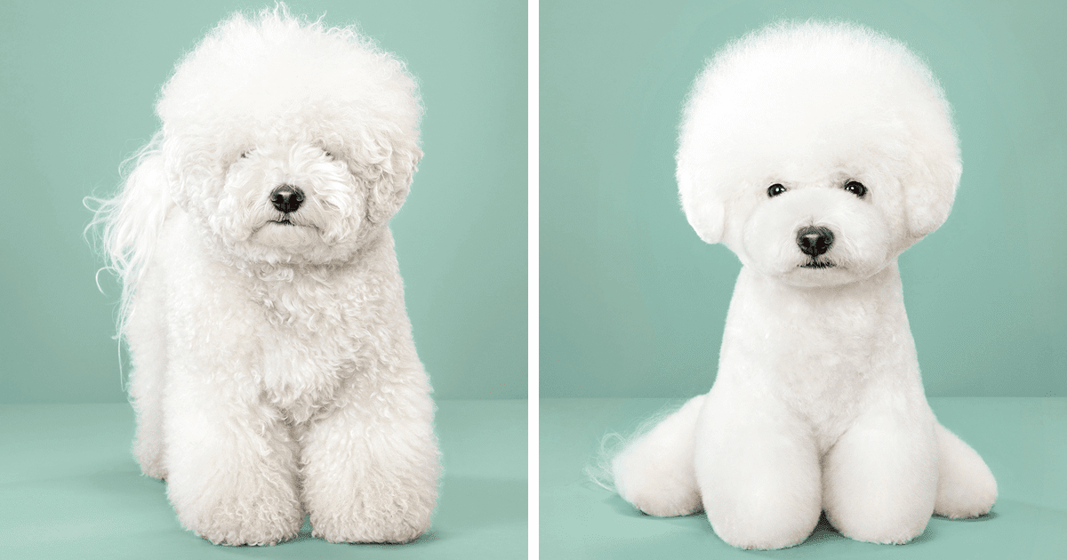 7 Cute Pictures Of Dogs Before And After Japanese Grooming