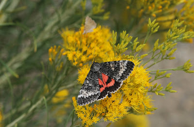 Colorado Insects----Grote's Underwing