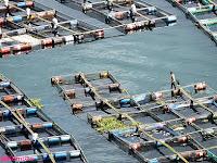 Eutrofikasi Akibat Pakan Ikan Budidaya