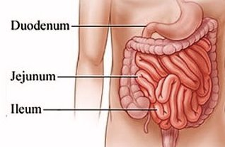 Bagian usus halus terdiri dari duodenum, jejunum dan ileum.