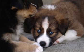 Wallpaper: Puppy with blue eyes