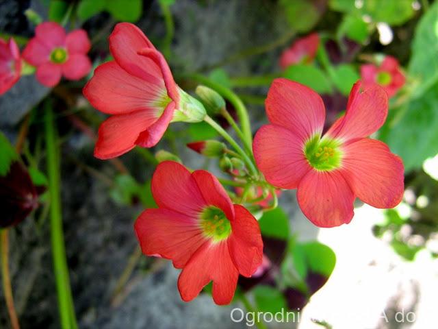Oxalis tetraphylla