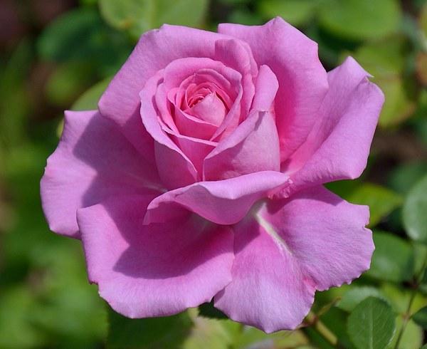 Claire Marshall rose photo роза сорт