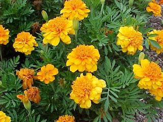 flores Tagetes patula