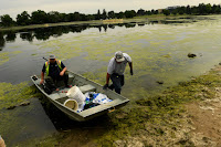 Algal blooms, like these on Ferril Lake in Denver, are a nightmare for the environment and could be exacerbated by climate change. (Credit: Helen H. Richardson/The Denver Post / Getty Images) Click to Enlarge.