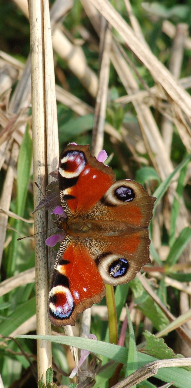 A peacock butterfly on some grass leaves.