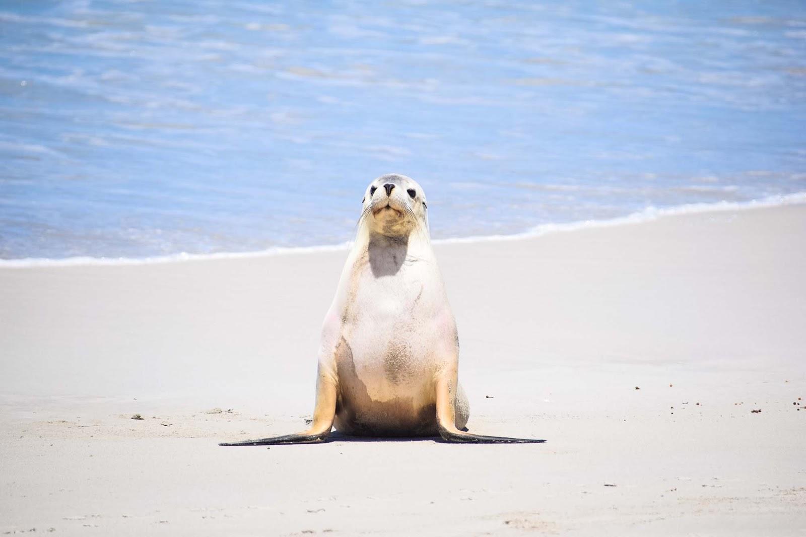 seal bay kangaroo island